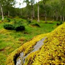 Moos auf Fels in Svartisen